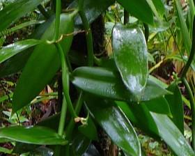 1vanilla planifolia